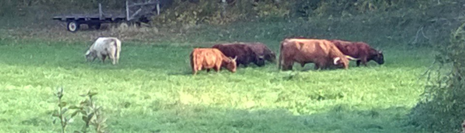Highland cattle on pasture